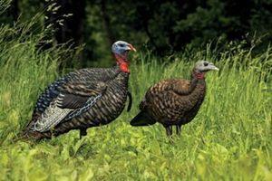Avian-X Jake/Breeder Hen Turkey-Decoy Combo Pack